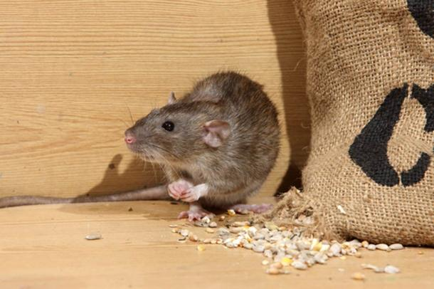 The animal trials included rats charged with eating and destroying the local barley. (Erni / Adobe)