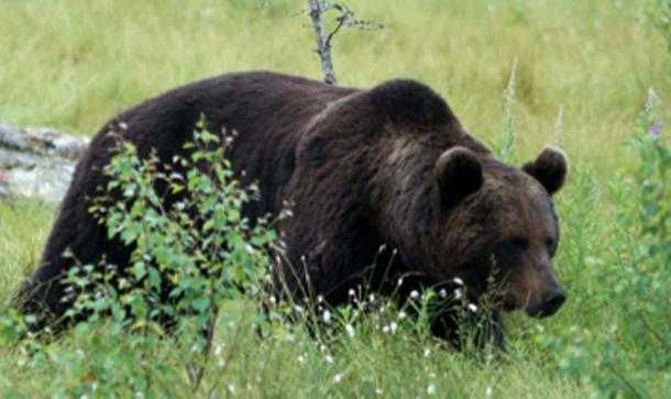 The bear was a sacred animal to the Finnish pagans. (Luco29 / CC BY-SA 3.0)