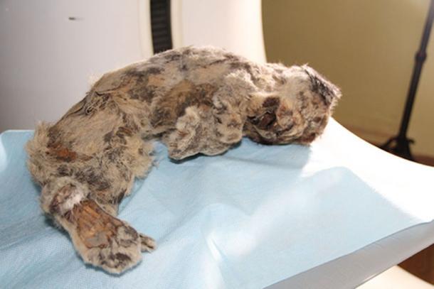 The cave lion cub found with the Pleistocene wolf's head. (Valery Plotnikov / Fair Use)