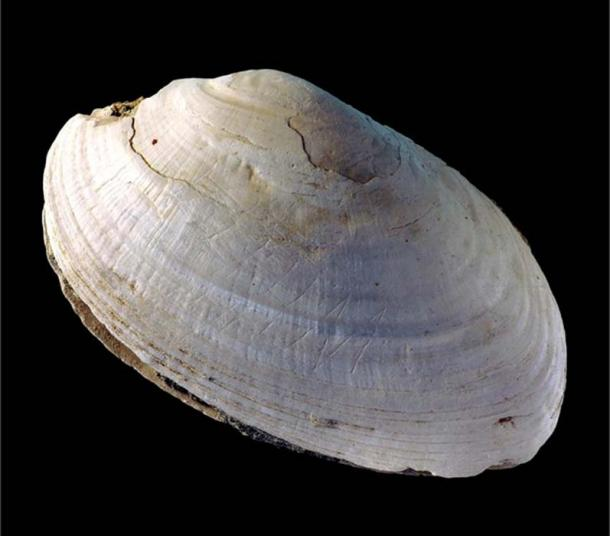 The fossil Pseudodon shell (DUB1006-fL) found in Java with the engraving made by Homo erectus. (Image: Wim Lustenhouwer, VU University Amsterdam)