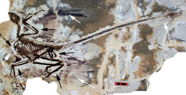 The holotype of Microraptor gui, the four-winged dinosaur.This shows the preserved feathers (white arrow) and the 'halo' around the specimen where they appear to be absent (black arrows). (CC BY 2.5)