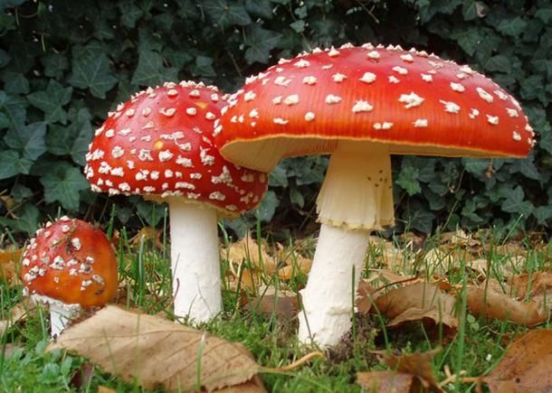 The iconic toadstool, Amanita muscaria.