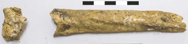 The left radius - arm bone of the ancient woman. Notice the pronounced markings on the bone, which suggest she was muscular. (Roksandic M / Antiquity)