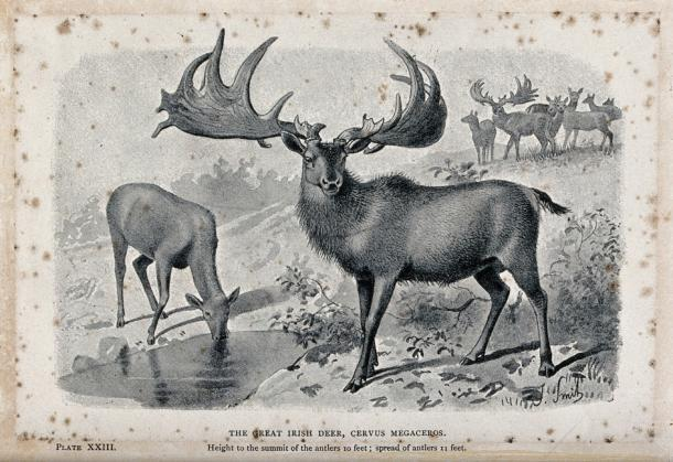 The male and female Irish elk (Cervus megaceros), now extinct (public domain)