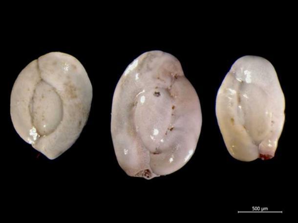 The miliolid foraminiferan Quinqueloculina from the North Sea. (CC BY-SA 4.0)