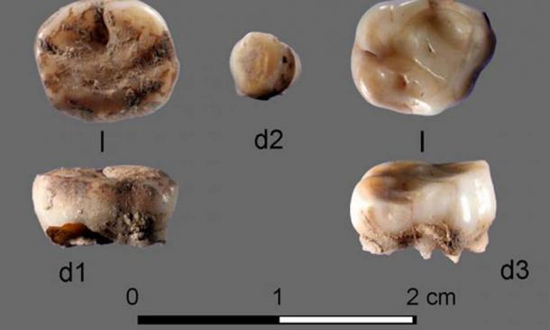 The two 31,000-year-old milk teeth found at the Yana Rhinoceros Horn Site in Russia which led to the discovery of a new group of ancient Siberians. Credit: Russian Academy of Sciences / Nature