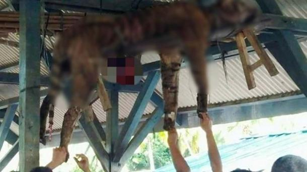 The villagers strung up the tiger to the rafters, thinking it was a shape=shifter. (Tribun Medan/Handout)