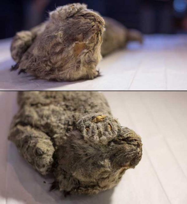"""""""There is a very realistic chance to recreate cave lions […]"""" (Siberian Times)"""