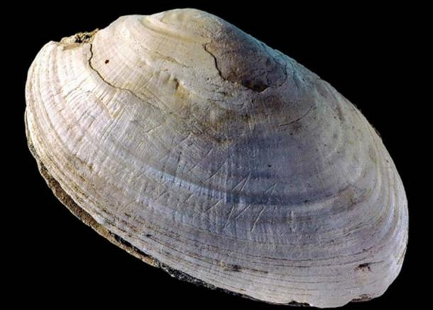 This etched shell from Java was found at the site where Homo erectus was discovered. Credit: Wim Lustenhouwer/VU University Amsterdam