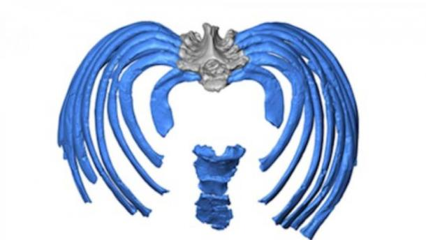 This image from the virtual reconstruction shows how the ribs attach to the spine in an inward direction, forcing an even more upright posture than in modern humans.         Source: Gomez-Olivencia, et al.