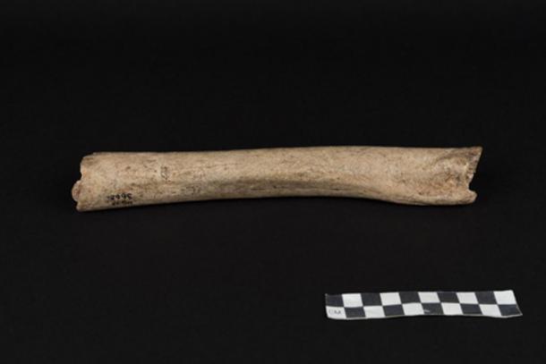 This is the femur of a male Neandertal from Hohlenstein-Stadel Cave, Germany. (© Oleg Kuchar, Museum Ulm)