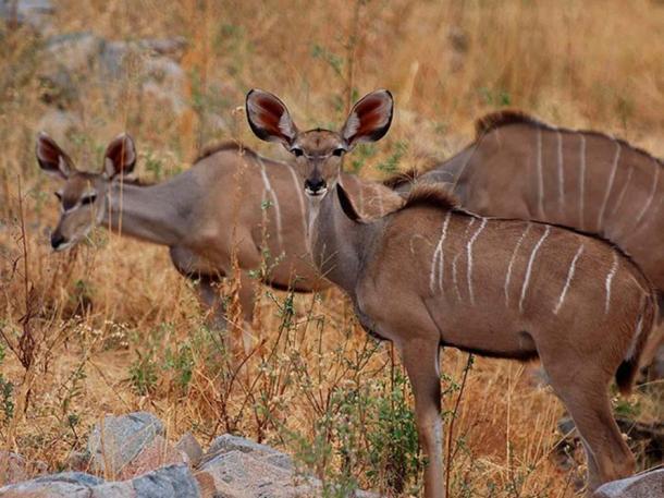 Three kudus amongst brown grass in Ruaha in Tanzania.