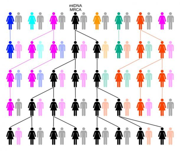 Through random drift or selection, the female-lineage will trace back to a single female, such as Mitochondrial Eve. In this example over five generations colors represent extinct matrilineal lines and black the matrilineal line descended from mtDNA MRCA. (ChrisTi / CC BY-SA 3.0)