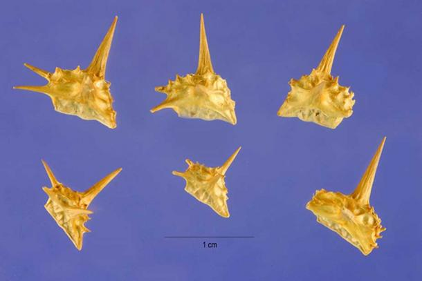 Thumbtack-like Tribulus terrestris nutlets are a hazard to bicycle tires, feet, and ancient armies.
