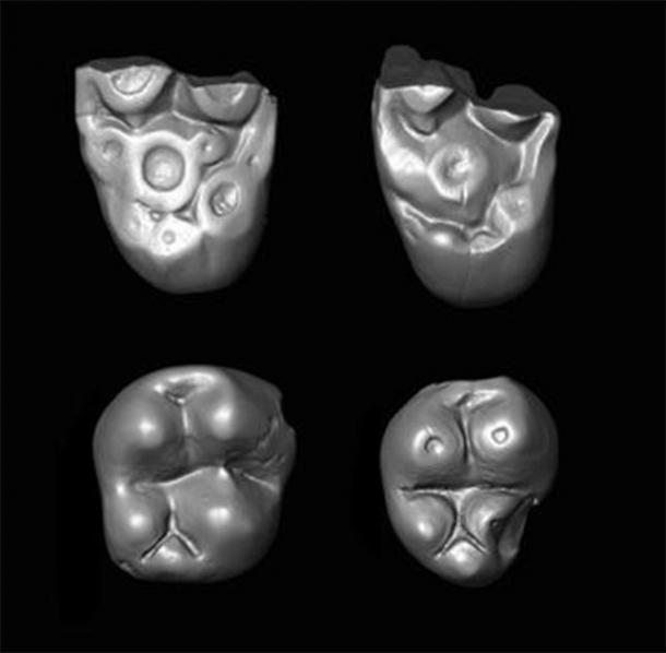 Tiny molar teeth of the parapithecid monkey Ucayalipithecus from the Oligocene of Peru. (Erik Seiffert)
