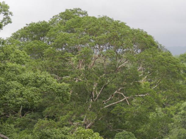 Tree top of a Dinizia excelsa. (CINBESA)