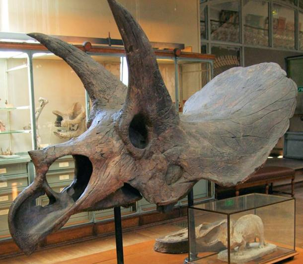 Triceratops horridus skull in the Gallery of Paleontology (French National Museum of Natural History) (CC BY-SA 2.0)