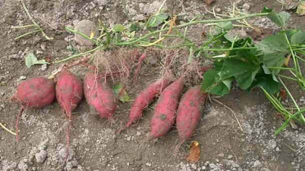 Tubers were part of the starch diet of early humans. (Miya / CC BY-SA 4.0)