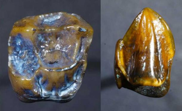 Two of the fossilized teeth discovered at Eppelsheim. Credit: The Museum of Natural History in Mainz