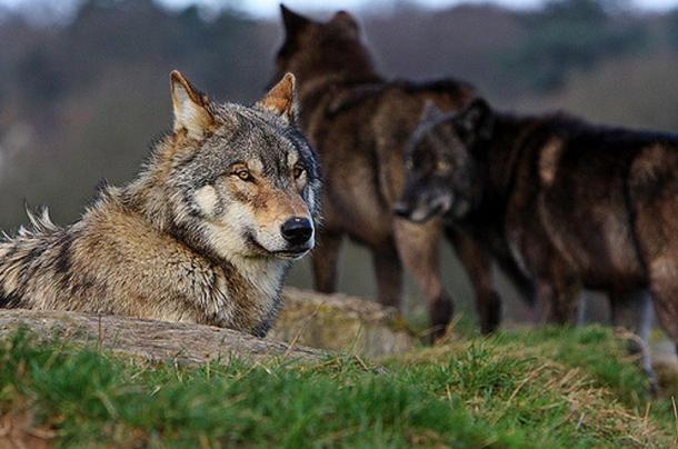 Wolves at the UK Wolf Conservation Trust.