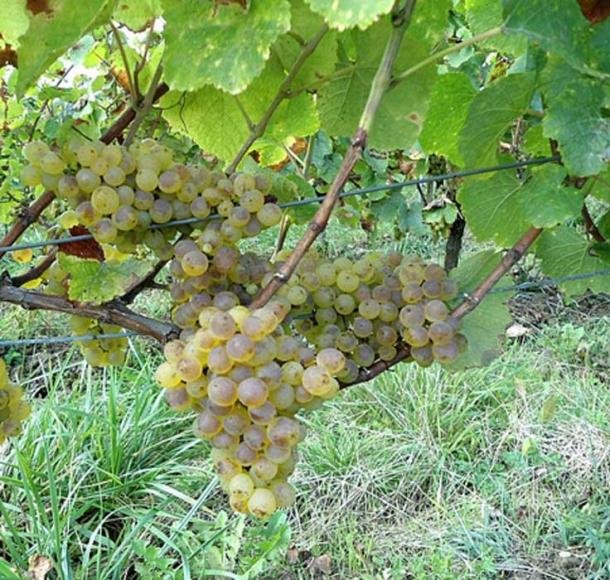An ancient savagnin blanc grape seed has been found to have a direct relation to the modern variety. (CC BY-SA 4.0)