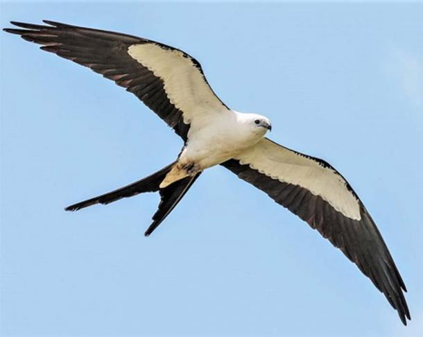 Swallow-tailed Kite. (Andy Morflew/CC BY 2.0)