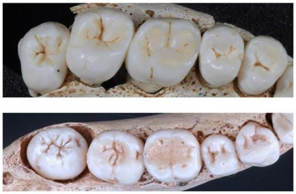 Upper and lower postcanine dentition of one representative SH individual - upper dentition is represented on top
