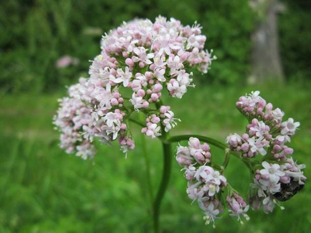 Valeriana officinalis.