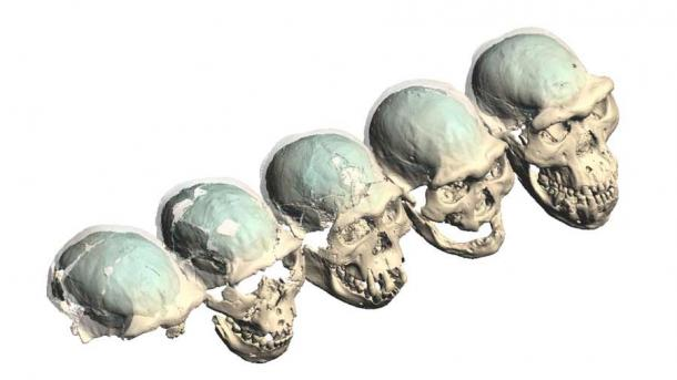 Virtual fillings of the braincases of early Homo from Dmanisi, Georgia, are shown in turquoise. Their structures provide new insights into human brain evolution 1.8 million years ago. (M. Ponce de León and Ch. Zollikofer/University of Zurich)