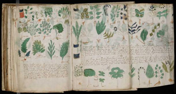 Pages from the Voynich manuscript showing various illustrations of plants