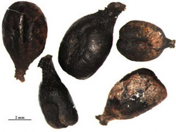 Waterlogged Roman grape seeds like these were genetically tested to investigate grape varieties in the past. Credit: L. Bouby, CNRS / ISEM