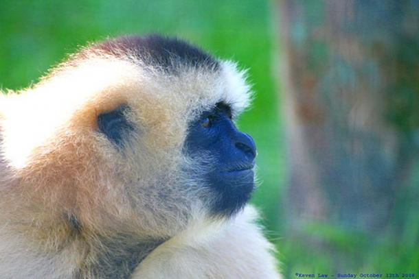 White Cheeked Gibbon - Rare Species Centre, Kent, England (CC BY-SA 2.0)