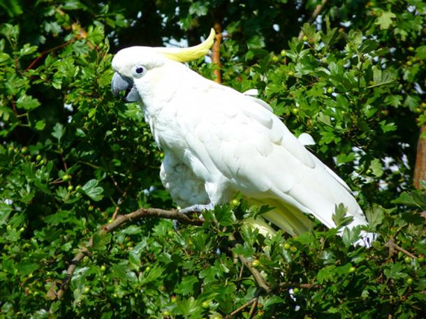 White Cockatoo is now a categorized as Highly Endangered (CC0)