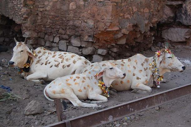 White cows decorated for Diwali celebrations.