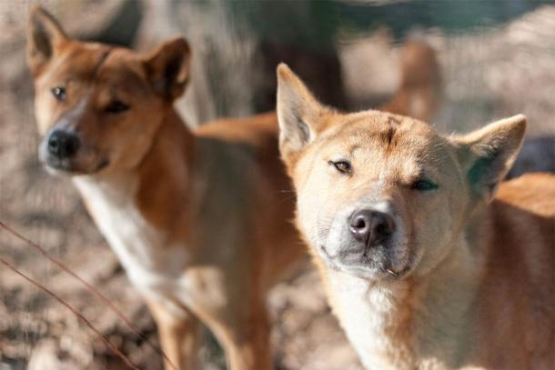 Two Highland Wild Dogs photographed in Papua New Guinea (Aubord Dulac / Adobe Stock)