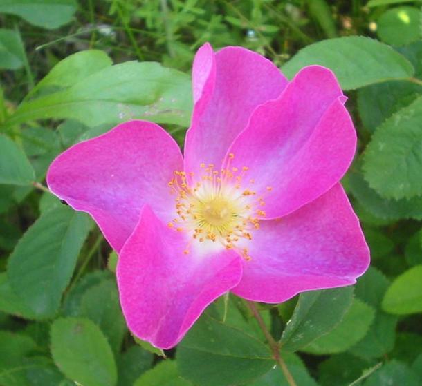 Wild Rosa gallica in Romania.