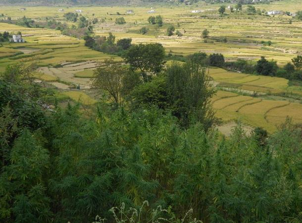 Wild cannabis growing in Uttarakhand, India