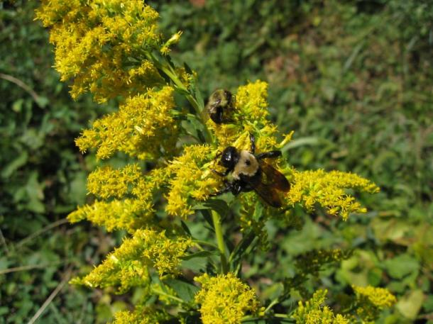 Wild honeybees collect nectar that will be turned into honey to feed the queen, larvae and the rest of the colony