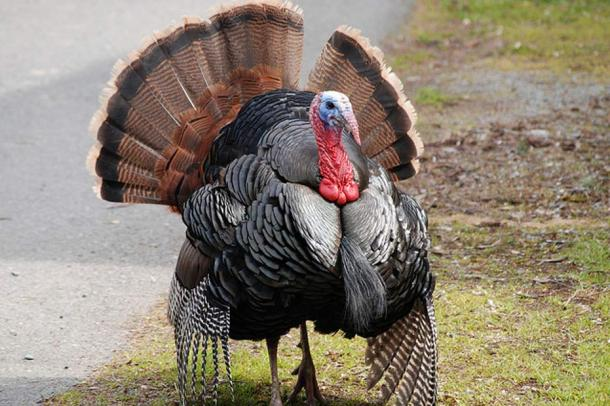 Wild turkey. The bird most associated with American Thanksgiving, which becomes the roast and centerpiece of the meal. It has become custom that the President of the USA annually spares a turkey's life by 'pardoning' the bird.