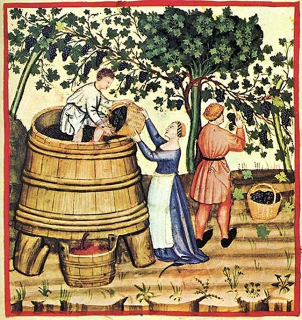 Wine harvesting and production in the 14th century.