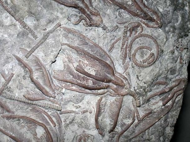 Xenocrinus baeri (Meek, 1872) crinoids in fossiliferous limestone from the Ordovician of Ohio, USA