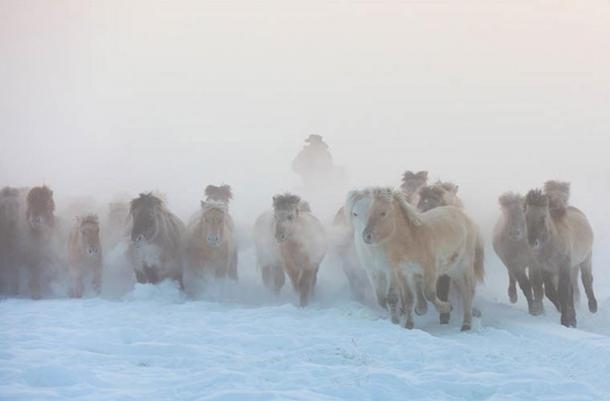 'This is truly amazing as it implies that all traits now seen in Yakutian horses are the product of very fast adaptive processes.