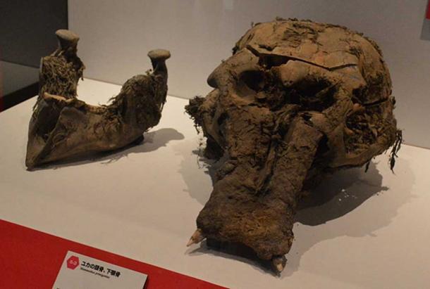 Yuka's skull and lower jaw as shown at Frozon Woolly Mammoth Yuka Exhibit in Yokohama, Kanagawa, Japan. (CC BY-SA 3.0)