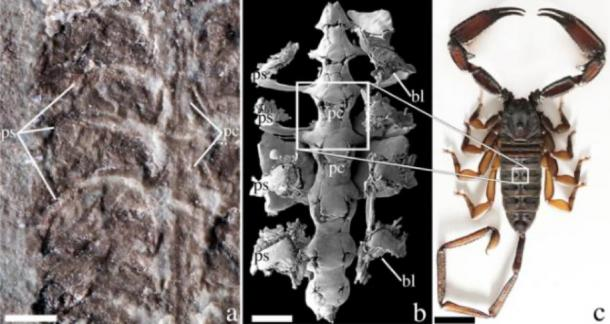 "A fossil of Parioscorpio venator (a) compared to a microscope image of Centruroides exilicauda (b) and Hadogenes troglodytes (c), both modern scorpions. ""bl"" stands for book lungs, a respiratory structure, and ""pc"" stands for pericardium, a structure that encloses the heart. Scale bars are 1 millimeter for a and b and 1 centimeter for c. (Wendruff et al., Scientific Reports, 2020)"
