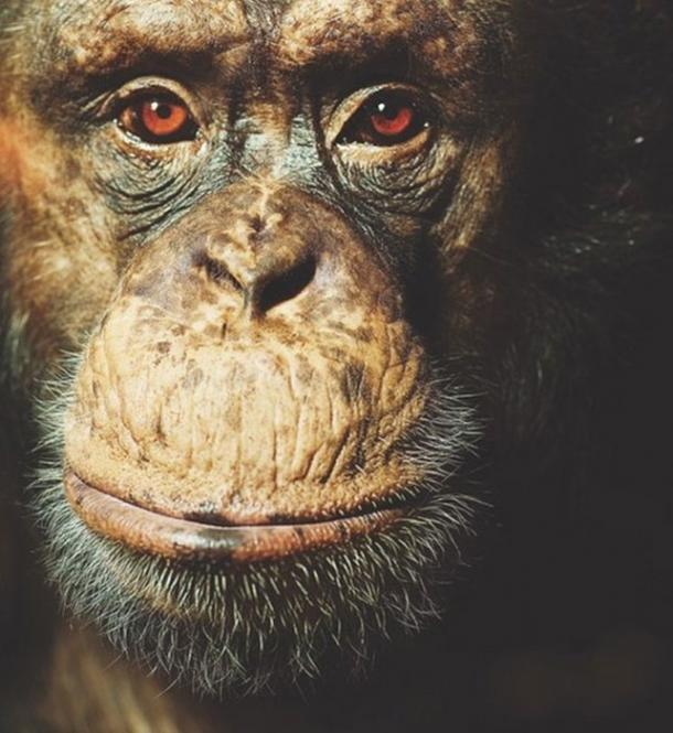 Carl, an alpha-male chimpanzee, one of the participants in the study. (David Trood / Aarhus University)