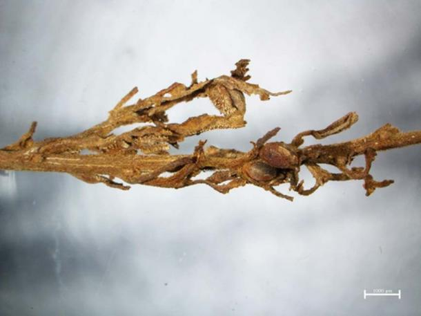 A detail from one of the ancient cannabis plants found in the grave.