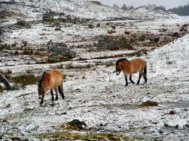 The geomes of modern-day horses and ancient horse samples from this region were compared to one another, and to existing sequences for dozens of domestic, still-wild Przewalski's, and ancient horses. Pictures: Patrice G/Proceedings of the National Academy of Sciences, floato