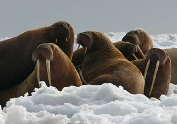 Walrus cows and yearlings on ice. (Roy17 / Public Domain)