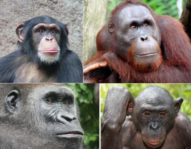 Chimpanzee (top left), (CC BY-SA 3.0); Orangutan (top right) (CC BY-SA 3.0); Gorilla (bottom left) (CC BY-SA 3.0); Bonobo (bottom right); (CC BY 3.0)