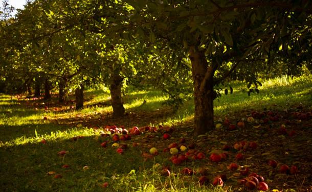 A plentiful apple orchard. Porshe Brosseau Both Avalon and the Isle of Man allegedly had plenty of apple trees.